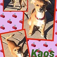 Adopt A Pet :: Kaos - Scottsdale, AZ