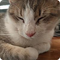 Adopt A Pet :: Argento - Fischer, TX