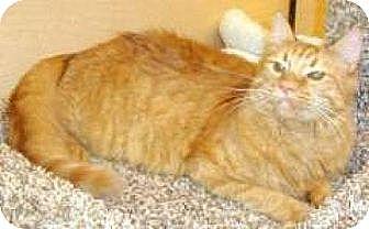 Domestic Mediumhair Cat for adoption in Miami, Florida - Rudy