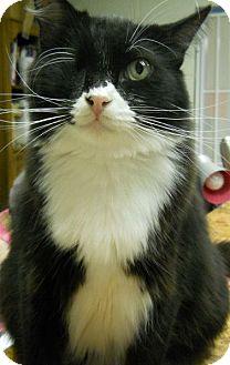 Domestic Longhair Cat for adoption in Ridgecrest, California - Marmaduke