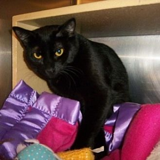 Domestic Shorthair Cat for adoption in St. Charles, Illinois - Alice