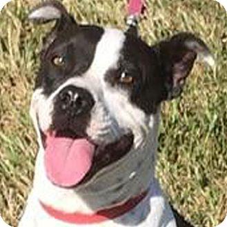 Boxer/French Bulldog Mix Dog for adoption in Preston, Connecticut - Beth AD 12-03-16