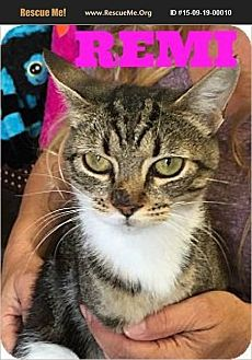 American Shorthair Cat for adoption in Cerritos, California - Remi