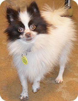 Pomeranian Dog for adoption in Prole, Iowa - Cheeks