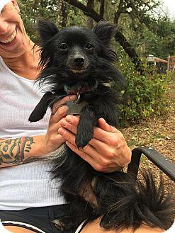 Chihuahua Mix Dog for adoption in Eugene, Oregon - Magoo