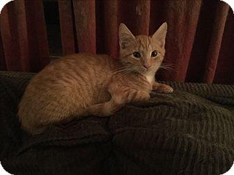 Domestic Shorthair Kitten for adoption in Rochester, New York - Spice