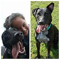Blue Heeler/Labrador Retriever Mix Dog for adoption in Memphis, Tennessee - JAKE