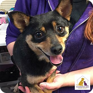 Chihuahua Mix Dog for adoption in Eighty Four, Pennsylvania - Hiker