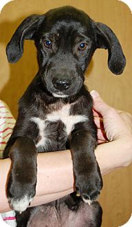Labrador Retriever Mix Puppy for adoption in Hagerstown, Maryland - Twinkletoes