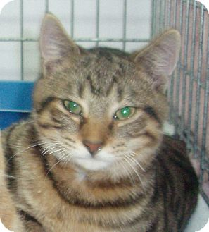Domestic Shorthair Cat for adoption in Germansville, Pennsylvania - Ferbie