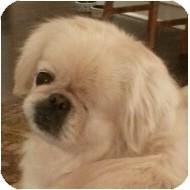 Pekingese Dog for adoption in Emmaus, Pennsylvania - Norma Jean-PA