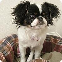 Adopt A Pet :: Trinket - Aurora, CO