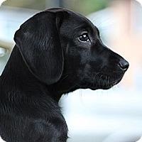 Adopt A Pet :: Steffie - South Jersey, NJ