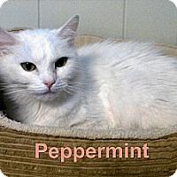 Adopt A Pet :: Peppermint - Medway, MA