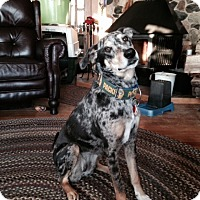 Adopt A Pet :: CALLIE-JJ (WI) - Roundup, MT