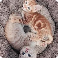 Adopt A Pet :: Lance & Rico (bonded brothers) - Arlington, VA
