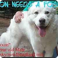 Adopt A Pet :: Jaxon - Muskegon, MI