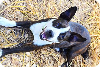 Boston Terrier/Labrador Retriever Mix Dog for adoption in Centerville, Tennessee - johva