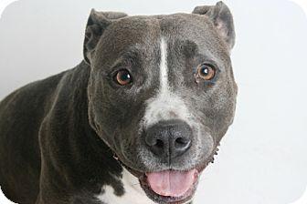 Pit Bull Terrier Mix Dog for adoption in Redding, California - Sia