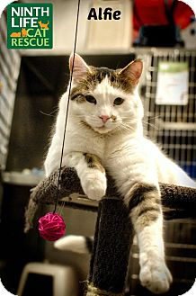 Domestic Shorthair Cat for adoption in Oakville, Ontario - Alfie
