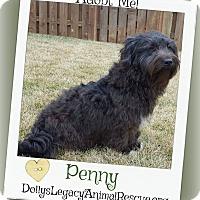 Petit Basset Griffon Vendeen/Scottie, Scottish Terrier Mix Dog for adoption in Lincoln, Nebraska - PENNY
