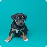 Adopt A Pet :: 8 Week Old Girls! - Henderson, NV