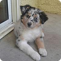Adopt A Pet :: Apple - Las Vegas, NV