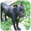 Photo 2 - Boston Terrier/Labrador Retriever Mix Dog for adoption in Huddleston, Virginia - Sammy