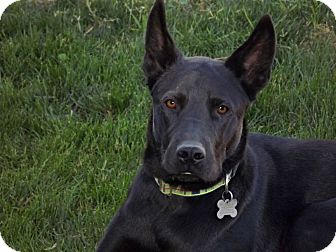 Belgian Malinois/Labrador Retriever Mix Dog for adoption in Phoenix, Arizona - Cooper