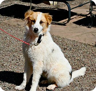 Collie Mix Puppy for adoption in Hastings, New York - Willie