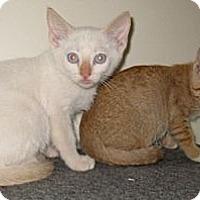 Adopt A Pet :: Gouda - Dallas, TX