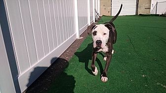 Pit Bull Terrier Mix Dog for adoption in North Haledon, New Jersey - Petey