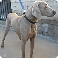 Adopt A Pet :: Alexander - Sun Valley, CA