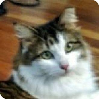 Domestic Longhair Cat for adoption in Medford, Massachusetts - Leighann