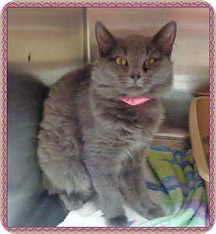 Domestic Mediumhair Cat for adoption in Marietta, Georgia - ALLY (R)