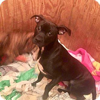 Boston Terrier/Dachshund Mix Puppy for adoption in Morgantown, West Virginia - Tess