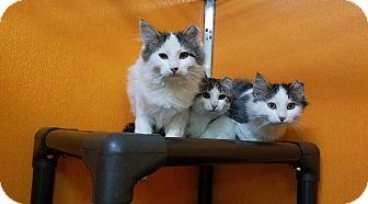 Domestic Mediumhair Kitten for adoption in Elyria, Ohio - Piggy & Tigger