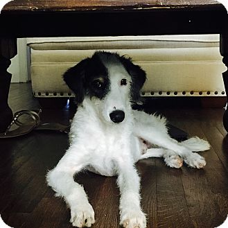 Poodle (Standard)/Labradoodle Mix Puppy for adoption in San Antonio, Texas - Jaxon