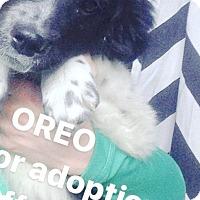 Adopt A Pet :: Oreo Boy - Pompton Lakes, NJ