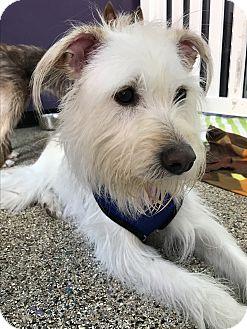Wheaten Terrier Mix Dog for adoption in Thousand Oaks, California - Elsie