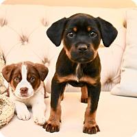 Adopt A Pet :: Penny - Plainfield, CT