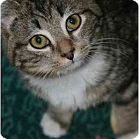 Adopt A Pet :: Duke - Arlington, VA