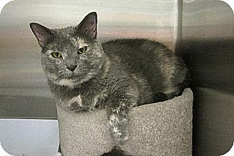 Domestic Shorthair Cat for adoption in O'Fallon, Missouri - Nellie