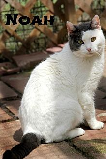 Domestic Shorthair Cat for adoption in Centerton, Arkansas - Noah
