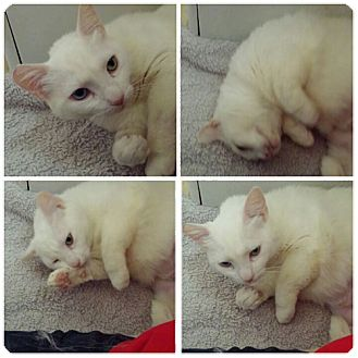 Domestic Shorthair Cat for adoption in Monrovia, California - Emma