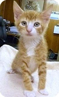 Domestic Shorthair Kitten for adoption in Livingston, Texas - Marlow