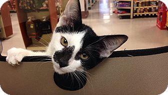Domestic Shorthair Kitten for adoption in Palm desert, California - Spotlight