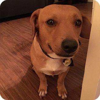 Chihuahua/Dachshund Mix Dog for adoption in San Diego, California - Levi
