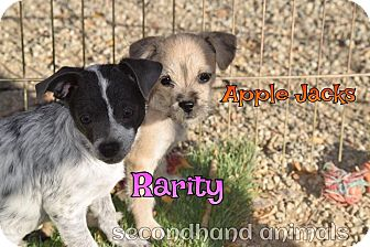 Chihuahua/Terrier (Unknown Type, Small) Mix Puppy for adoption in Rosamond, California - Rarity
