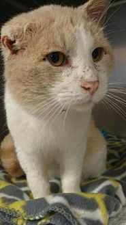 Domestic Shorthair Cat for adoption in Ashtabula, Ohio - Evander